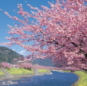 Cherry blossum season in Japan